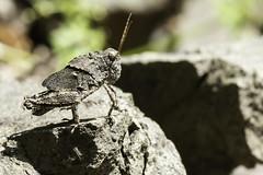 Rock or Grasshopper? (2) (-FlyTrapMan-) Tags: rock grasshopper macro nature wildlife insect bug