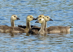 Goslings (Kelly Preheim) Tags: canada geese waterfowl south dakota birdsgoslings
