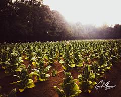 (crfleury) Tags: crfleury 2019 wendell nc dji mavicpro drone arial tobacco field agriculture plant