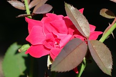 Bashful Red Rose (Gene Ellison) Tags: plant flower rose red petals green leaves stems thorns nature photography naturephotography fijifilm provia sooc