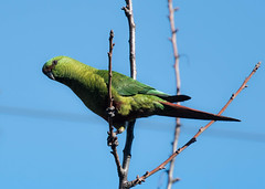 Austral Parakeet (Enicognathus ferrugineus) (Kremlken) Tags: parrots southamerica birds birding bird birdwatching nature nikon500 enicognathusferrugineus