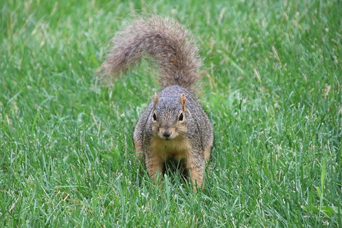 Fox Squirrels and Friends on a Hot Summer Day at the University of Michigan - July 19th, 2019
