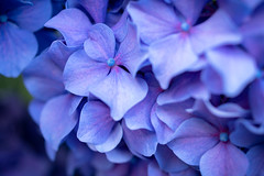 Hydrangea Petals (s.d.sea) Tags: hydrangea hydrangeas flower flowers flora floral bloom blossom blossoms petals petal blue purple pom summer july issaquah washington washingtonstate wa macro pnw pacificnorthwest pentax k1ii