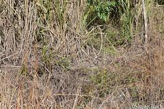 Eastern Brown Snake (Pseudonaja textilis) (shaneblackfnq) Tags: eastern brown snake pseudonaja textilis shaneblack reptile elapid venomous dangerous basking mt mount molloy fnq far north queensland australia tropics tropical