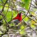 Temminck's Sunbird (Aethopyga temminckii)