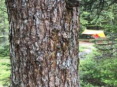 Engleman Spruce at Little Yoho Backpacker Campsite - Iceline Trail - Yoho National Park (daviddodge2002) Tags: yoho national park iceline hiking bc glaciers rocky mountains daviddodge