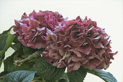 20190719 Hydrangea - in Explore (Dolores.G) Tags: 365the2019edition 3652019 day200365 19jul19