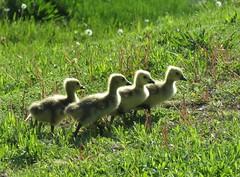 backlit goslings (Cheryl Dunlop Molin) Tags: gosling canadageese canadagoose geese goose waterfowl