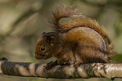 The Andean squirrel (Sciurus pucheranii) (PriscillaBurcher) Tags: mammal mammalsofsouthamerica mammalsofcolombia mammalsoftheandes andeansquirrel sciuruspucheranii ardillaandina ardilla treesquirrel squirrel roedor endemic endémico sciuridae laceja colombia priscillaburcher dsc2784