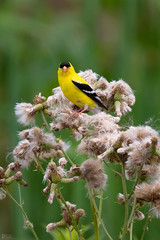 American goldfinch (pinakin2in) Tags: americangoldfinch goldfinch finch yellow birds backyardbirds smallest canon canongear pinakin2in