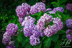 Endless Summer (Photo-A-Peal) Tags: flower hydrangea plant bloom blooms nature garden formal beautiful blue pink