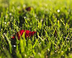 Day 615 | Naturally (JL2.8) Tags: meridian idaho unitedstatesofamerica day615 leaf sun dew grass canon 6dmk2 project365 365 photochallenge