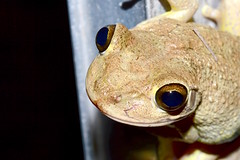 On Night Guard (donjuanmon) Tags: donjuanmon nikon nature macro frog treefrog fencedfriday fence chainlink metal rail eyes cuban