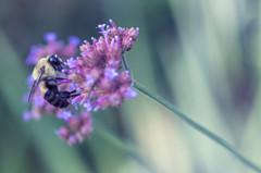 Working Bee (Edgar.Omar) Tags: bee flower abeja flor centralpark pentax k50 pentaxa5028macro slidersunday