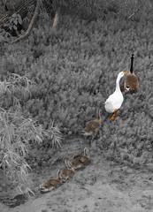 The nanny (Betty Cowart) Tags: murfreespringwetlands duck geese goslings marsh trail follow wildlife birds