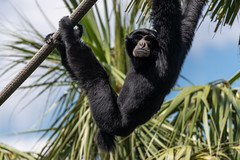 Siamang Hanging Out (Eric Kilby) Tags: tampa zoo zootampa lowrypark animal primate gibbon siamang hanging