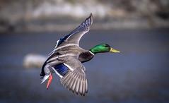 Mallard in Flight (Paul Rioux) Tags: nature avian mallard duck inflight prioux