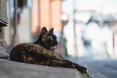 猫 (fumi*23) Tags: ilce7rm3 sony sel85f18 a7r3 animal alley cat gato chat neko 85mm fe85mmf18 bokeh dof depthoffield emount ねこ 猫 ソニー
