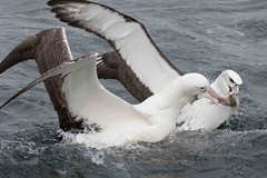 WANALB WHCAAL 0027 (Bryan J. Smith) Tags: wanderingalbatross diomedeaexulans whitecappedalbatross thalassarchecauta albatrosses diomedeidae birdsofnewzealand ©bryanjsmith