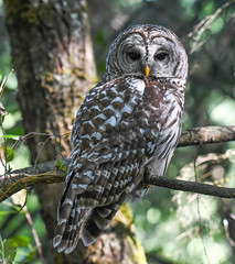Let's go down to the Woods today (wesleybarr1962) Tags: barredowl owl strixvaria natureinfocusgroup