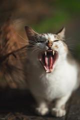 猫 (fumi*23) Tags: ilce7rm3 sony sel85f18 85mm fe85mmf18 a7r3 animal yawn cat gato katze neko emount ねこ 猫 ソニー 欠伸 あくび