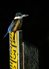 Kingfisher watching (Maureen Pierre) Tags: xt2 fujifilm bird native wildlife solo sacredkingfisher watching perching