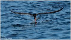 Skimming Skimmer 0331 (maguire33@verizon.net) Tags: bif blackskimmer bolsachica bolsachicaecologicalreserve bird skimmer wetlands wildlife huntingtonbeach california unitedstatesofamerica