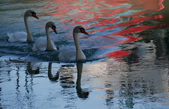 Bloody trio (Croix-roussien) Tags: swan abstract nature reflection river lyon france bird cygne red rouge