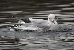 Black billed gull bathing (Maureen Pierre) Tags: xt2 fujifilm bird native wildlife solo blackbilledgull bathing endangered endemic rare