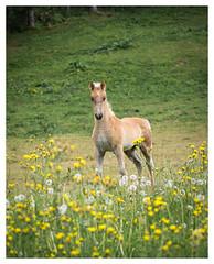 the first summer (B. Blue) Tags: wiese tier blume pflanzen fohlen österreich natur pferd austria flower nature foal horse meadow ramsauamdachstein steiermark