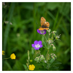 summer holidays (B. Blue) Tags: wiese schmetterling blume pflanzen tier österreich natur insekten austria flower insekt nature tagfalter meadow schladming steiermark