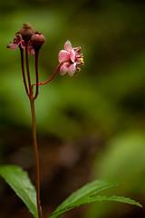 Wildflower (LadyBMerritt) Tags: afloweraday forest flower plant nature macro wildflower woods