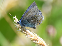 Common Blue Butterfly (Polyommatus Icarus) (Brian Carruthers-Dublin-Eire) Tags: common blue polyommatus icarus butterfly commonblue polyommatusicarus commonbluebutterfly animalia arthropoda insecta lepidoptera lycaenidae polyommatini picarus animal bug insect ireland butterflyireland bluebutterfly