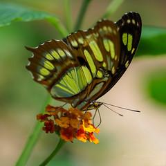 Fuel stop (3) (Karsten Gieselmann) Tags: 40150mmf28 em5markii falter farbe grün insekten mzuiko microfourthirds natur olympus orange tiere tiergartenzoo butterfly color green kgiesel m43 mft nature zoo hunaweier groserosten frankreich
