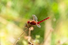 (stefano ciccocioppo) Tags: libellula dragonfly abruzzo ingiroapiùnonposso lagodisinizzo natura volare rosso