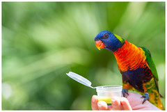 Good morning! (Jeroen Noot) Tags: hoenderdael colours annapaulowna nature birds nederland lori parkeet hollandskroon colour hoenderdaelpark wildlife netherlands dierentuin bird feedingstation europa zoo noordhollandnoord europe green noordholland lorikeet rainbow