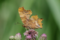 K32P5570c Comma, Woodwalton Fen, June 2019 (bobchappell55) Tags: cambridgeshire polygoniacalbum woodwaltonfen butterfly comma insect nature wild wildlife