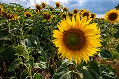 Sonnenblume (carsten.plagge) Tags: 2019 cp55 carstenplagge lumix quedlinburg sommer sonnenblumen sonnenblumenfeld thale sachsenanhalt deutschland