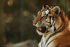 _V1A1039 (skyppi89) Tags: tigre photo animaux nature sauvage félin photographie naturaliste animalier