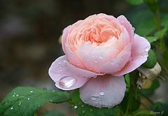 "Weekend Rose ""Queen of Sweden"" (Eleanor (New account))) Tags: flower rose pinkrose raindrops queenofswedenrose busheyrosegarden bushey uk nikond7100 july2019"