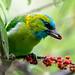 Golden-naped Barbet (Psilopogon pulcherrimus)
