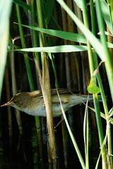 DSC06319 - Reed Warbler (steve R J) Tags: reed warbler fingringhoe wick ewt reserve colchester essex birds british
