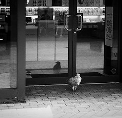 Door Guard (Demmer S) Tags: shoppingmall store storefront seagull doorguard guarding door shoppingcenter shopping retail shop mall birds outdoors nature creatures animals wildlife birding winged wings aves avian feathered feathers birdphotography bird animal birdwatcher wildlifephotography birdwatching summer summertime outside seagulls gull shorebirds gulls shorebird street streetphotography shootthestreet streetshots documentary urban city urbanphotography streetscene urbanexploration bw monochrome blackwhite blackandwhite blackwhitephotos blackwhitephoto