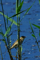 DSC06180 - Reed Warbler (steve R J) Tags: reed warbler fingringhoe wick ewt reserve colchester essex birds british