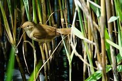 DSC06091 - Reed Warbler (steve R J) Tags: reed warbler fingringhoe wick ewt reserve colchester essex birds british