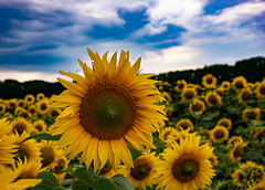 Sonnenblumenblüte (carsten.plagge) Tags: 2019 cp55 carstenplagge quedlinburg sommer sonnenblumen sonnenblumenfeld