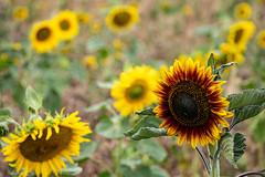 Ich bin anders (carsten.plagge) Tags: 2019 cp55 carstenplagge feld lumix lumixworld quedlinburg sommer sonne sonnenblumen sonnenblumenfeld