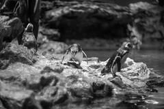 Penguin baby (Typ250) Tags: 東京都 日本 leicam leica monochrome mmonochrom leicammonochrom summarex summarex85cm summarex85mm summarexf85cm115
