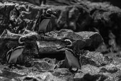 Penguin (Typ250) Tags: 東京都 日本 leicam leica monochrome mmonochrom leicammonochrom summarex summarex85cm summarex85mm summarexf85cm115