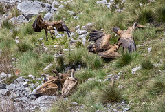 Scavenging Vultures (F.Hendre) Tags: gypsfulvus griffonvulture vulture spain asturias scavenger raptor